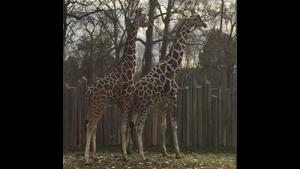 Kids See A Giraffe Dick