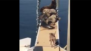 Pitbull Clears Pier