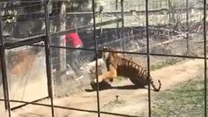 Jumping Fence Into The Tiger Pit