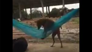 Dog Chilling In A Hammock