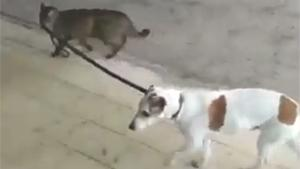 Cat Walks The Dog