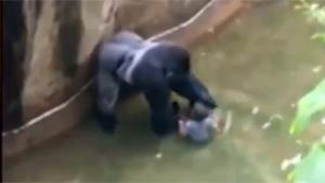 Gorilla Shot After Kid Falls In Pit