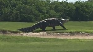 Massive Gator Walks On Golf Course