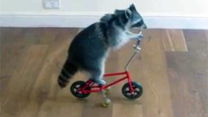 Raccoon Riding A Bike