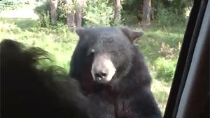 Bear Opens Car Door