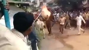 Bull Jumps Over Man