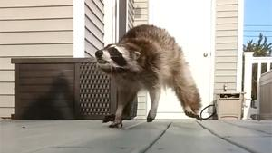 Raccoon Takes Revenge
