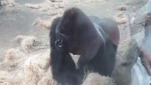Gorilla Attacks In Zoo