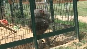 Baboon Throwing Shit