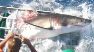 Great White Shark Enters Swimmers Cage