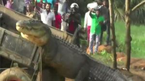 Huge Crocodile Set Free