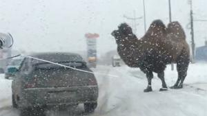 Camel Causes Crash