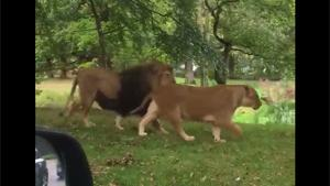 Little Kid Doesn't Like Lions