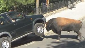 Bull Takes Car On Horns