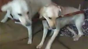 Dogs Fighting Over Penis