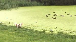 Dog Learns Difference Between Grass And Duckweed