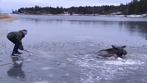 Rescuing A Moose From Freezing Death