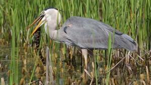 Blue Heron Eating Baby Alligator