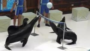 Volley Ball With Amazing Sea Lions