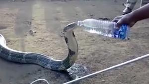 Thirsty Cobra Having A Drink