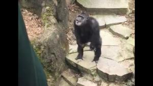 Chimp Gives Grandma Unpleasant Surprise