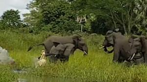 Crocodile Bites Baby Elephant In Trunk