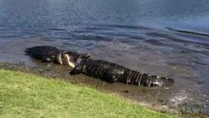 Gators Fighting Over Female