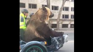 Motorbike Ride With Bear