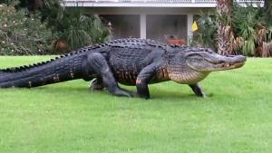 Huge Alligator Takes A Stroll