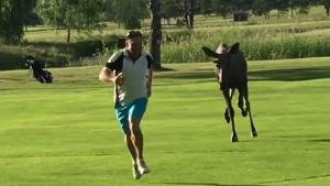 Moose Scares Away Golf Player