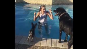 Clever Yorkie Stays Dry Crossing The Pool