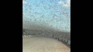 Driving Through A Swarm Of Locusts