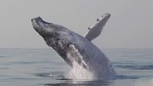 Breaching Humpback Whales