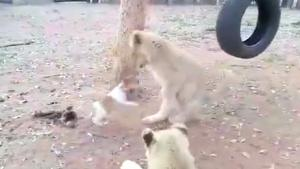 Dog Picks Fight With Tiger Cubs