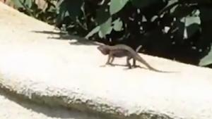 Lizard Doing His Morning Workout