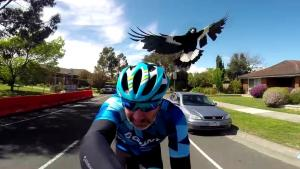 Bird Attacks Cyclist