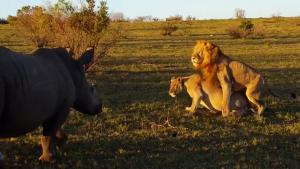 Rhino Interrupts Mating Lions