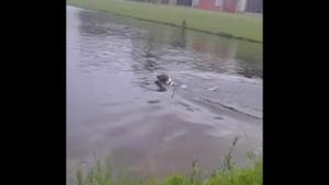 Dog Gets Surprise Of His Life In Pond