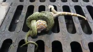 Lizard Escapes From Snake Attack