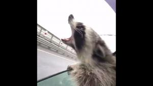 Raccoon Tries To Catch The Rain